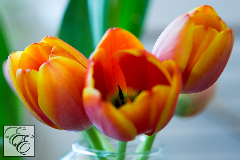RedYellowTulips-1